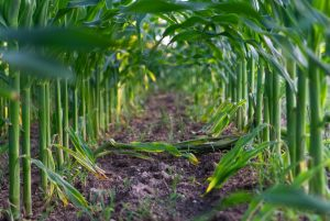 corn is a commodity product in agriculture