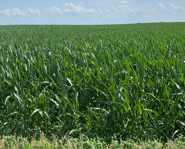 Corn field growing in July 2021